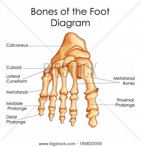 poster of medical education chart of biology for bones of foot diagram   vector illustration