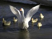 picture of mother goose  - Mother Goose and family in the pond - JPG
