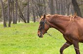 pic of blinders  - One brown horse with chain on the green grass - JPG