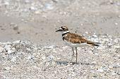 pic of killdeer  - Killdeer bird walking in muddy gravel area  - JPG