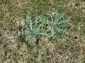 Green Weed With Spikes In The Green Grass Or Lawn poster