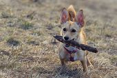 Small Brown Rat Terrier Chihuahua Mix Dog Standing On Lawn With Wooden Stick In Its Mouth. Pets, Ani poster