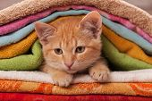 Cute orange kitten playing and slipping through a pile of colorful towels - close up poster