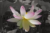 Sacred Lotus. Image Of Flower On Monochrome Background. poster