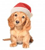 Miniature dachshund puppy wearing a Santa hat.