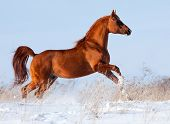stock photo of galloping horse  - Arabian chestnut horse running in winter - JPG