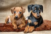 stock photo of miniature pinscher  - The Miniature Pinscher puppies 2 months old - JPG