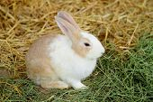 picture of thumper  - rabbit in farm - JPG