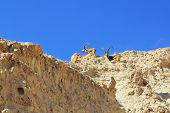 A family of mountain goats with huge curved horns. The ancient mountains near Eilat, Israel