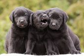 foto of yawn  - Three cute black Labrador Retriever puppies sitting - JPG