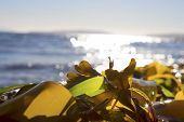 pic of ethanol  - Bunch of seaweed piling up on a sea shore - JPG