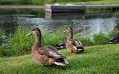 image of dock a pond  - Female mallard ducks all looking in the same direction on grass with a blurred pond and dock in the background