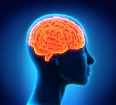 stock photo of cerebrum  - Illustration of Human Brain Anatomy - JPG