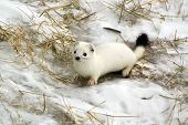 stock photo of ermine  - Curious ermine in a habitat of dwelling - JPG