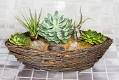 image of epiphyte  - Echeveria a succulent and Tillandsia an epiphyte of the Bromeliad family growing in a wicker basket - JPG