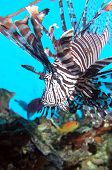 picture of lion-fish  - Solitary Lion Fish on Great Barrier Reef - JPG