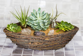 stock photo of epiphyte  - Echeveria a succulent and Tillandsia an epiphyte of the Bromeliad family growing in a wicker basket - JPG