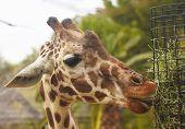 stock photo of long tongue  - A Zoo Giraffe Uses its Long Tongue to Eat Hay - JPG