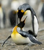 stock photo of mayhem  - In the mayhem of a rookery two King Penguins share an intimite moment while soft snow falls all around them - JPG