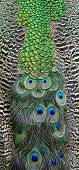 stock photo of indian peafowl  - Beautiful bird feather - JPG