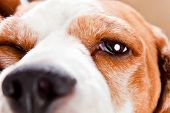 foto of seeing eye dog  - Eye of a dog macro shot beagle - JPG