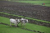 stock photo of farmworker  - Plowing fields with an ox team in Myanmar - JPG