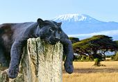 foto of kilimanjaro  - African Leopard on the African savannah on background of Mount Kilimanjaro - JPG