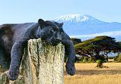 foto of kilimanjaro  - African Leopard on the African savannah on background of Mount Kilimanjaro - JPG