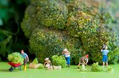 stock photo of figurine  - Group of farmers harvesting a giant cauliflower - JPG