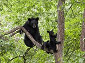 image of bear cub  - Momma bear and twin cubs in a tree - JPG
