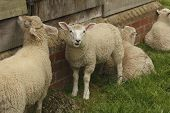stock photo of huddle  - Sheep and lamb huddled against a farm building - JPG
