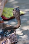 picture of king cobra  - King cobra snake in northern India close up - JPG