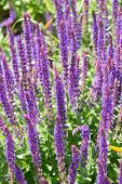 picture of purple sage  - Flowering Salvia purple flowers in Denmark during summer - JPG