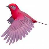 pic of songbird  - 3d digital render of a flying songbird tanager isolated on white background - JPG