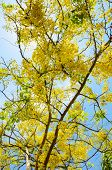 image of cassia  - Beautiful yellow flowers on tree of Purging Cassia or Ratchaphruek  - JPG
