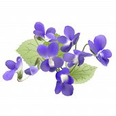 picture of realism  - Hand drawn vector illustration of violets on white background  - JPG