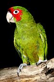 stock photo of parakeet  - Red Masked Parakeet on Tree Branch with Black Background - JPG