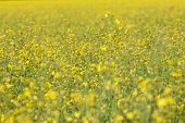 stock photo of rape-seed  - rape oil seed field  - JPG