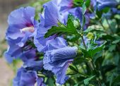 image of coiled  - Sideways closeup of a coiled blue purple bud in the foreground and in the background some flowers of a Rose of Sharon or Hibiscus shrub in its natural habitat - JPG