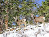 foto of mule deer  - Two mule deer foraging for food on snowy hillside - JPG