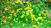pic of kumquat  - closeup of a kumquat in a green and yellow field - JPG