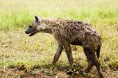 picture of hyenas  - Hyena wandering the plains of the Serengeti National Park - JPG