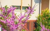 image of judas  - green and pink judas tree in a residential garden - JPG