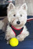 stock photo of west highland white terrier  - West Highlands terrier in portrait vertical image - JPG