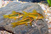 stock photo of freshwater fish  - Corydoras fish on the bottom and in the aquarium - JPG
