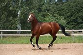 foto of breed horse  - Beautiful bay latvian breed horse galloping at the field near the fence - JPG