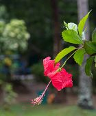 image of hibiscus  - Red Hibiscus flower  - JPG