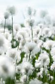 picture of marsh grass  - Cotton grass in the light of a bright sunny day - JPG