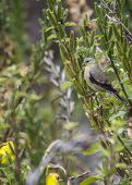pic of mockingbird  - American Goldfinch spotted in Heron - JPG