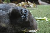 stock photo of gorilla  - Strong Adult Black Gorilla on the Green Floor - JPG